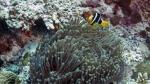 Amphiprion clarkii ClarksAnemonefish3 DMS