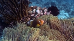 Amphiprion nigripes MaldivesAnemonefish2 DMS