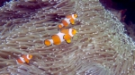 Amphiprion ocellaris CommonClownfish DMS
