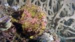 Antennarius maculatus WartyFrogfish DMS