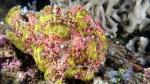 Antennarius maculatus WartyFrogfish1 DMS