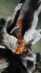 Antennarius pictus PaintedFrogfish1 DMS