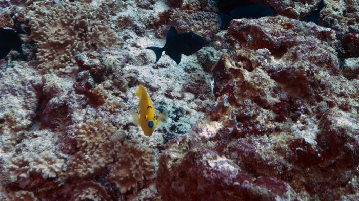 Apolemichthys trimaculatus ThreeSpotAngelfish DMS