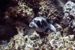 Arothron diadematus masked pufferfish4 DMS