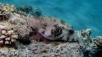 Arothron hispidus Whitespotted pufferfish DMS