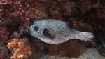 Arothron nigropunctatus BlackSpottedPufferfish2 DMS