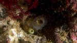 Ascidia ornata DMS