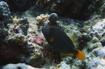 Balistapus undulatus Orange lined triggerfish DMS