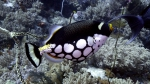 Balistoides conspicillum ClownTriggerfish DMS