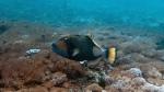 Balistoides viridescens TitanTriggerfish DMS