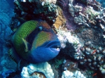 Balistoides viridescens Titan Triggerfish DMS