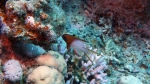 Bodianus anthioides Lyretail hogfish DMS