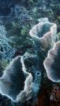 Callyspongia aerizusa DMS