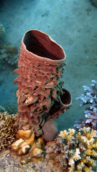 Callyspongia crassa prickly tube sponge DMS