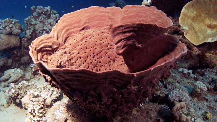 Callyspongia crassa prickly tube sponge1 DMS