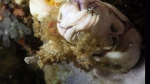 Camposcia retusa BluntDecoratorCrab1 DMS