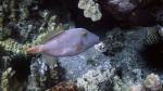 Cantherhine dumerili YelloweyeFilefish DMS