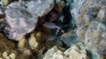 Canthigaster jactator HawaiianWhiteSpottedToby1 DMS