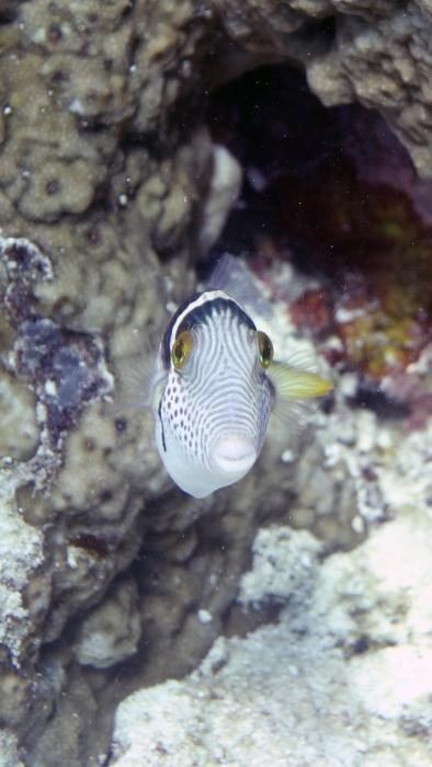 Canthigaster valentini SaddledSharpnosePuffer3 DMS
