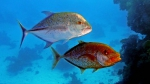 Caranx melampygus Bluefin travely DMS