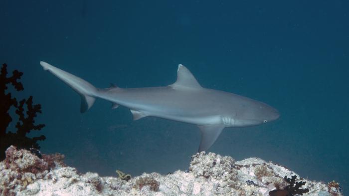 Carcharhinus amblyrhynchos GreyReefShark DMS