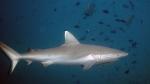 Carcharhinus amblyrhynchos GreyReefShark2 DMS
