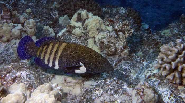 Cephalopholis argus PeacockGrouper DMS