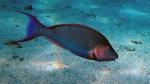 Cetoscarus bicolor Bicolor parrotfish DMS