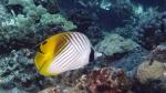 Chaetodon (Rabdophorus) auriga Threadfin Butterflyfish1 DMS