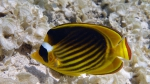 Chaetodon fasciatus Diagonal butterflyfish DMS