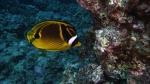 Chaetodon lunula RaccoonButterflyfish DMS