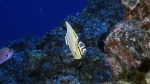 Chaetodon ornatissimus OrnateButterflyfish2 DMS