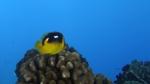 Chaetodon quadrimaculatus FourspotButterflyfish1 DMS
