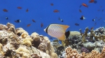 Chaetodon trifascialis Chevron butterflyfish DMS