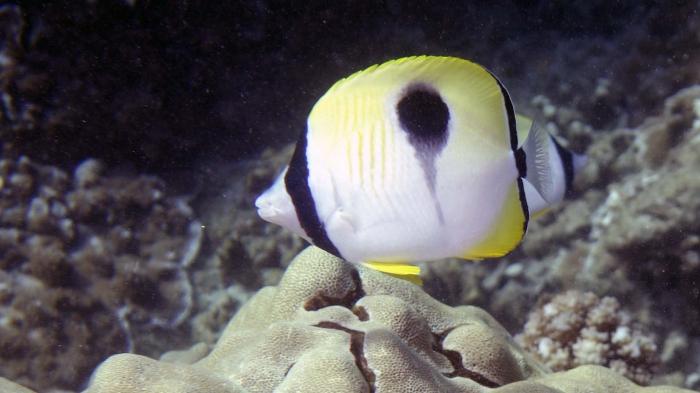 Chaetodon unimaculatus TeardropButterflyfish DMS