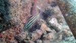 Cheilodipterus quinquelineatus Five linedCardinalfish DMS