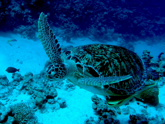 Chelonia mydas Green sea turtle DMS