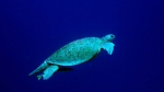Chelonia mydas Green sea turtle1 DMS