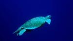Chelonia mydas Green sea turtle1 DMS