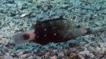 Chlorurus spilurus Bullethead parrotfish DMS