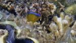 Chrysiptera unimaculata onespot damselfish DMS