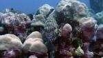 Cirrhitus pinnulatus StockyHawkfish DMS