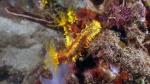 Colochirus quadrangularis ThornySeaCucumber DMS