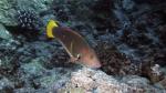 Coris gaimard YellowtailCoris AdultFemale DMS