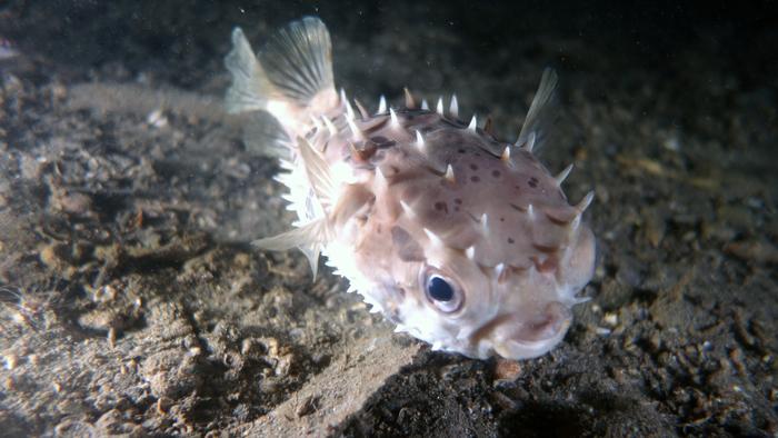 Cyclichthys orbicularis OrbicularBurrfish DMS
