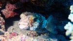 Cyclichthys spilostylus Yellow spotted burrfish DMS