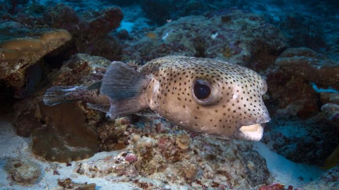 Diodon hystrix SpottedPorcupinefish1 DMS