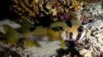 Diodon liturosus BlotchedPorcupinefish DMS