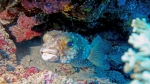 Diodon nicthemerus Slender spined porcupinefish DMS