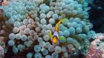 Entacmaea quadricolor Amphiprion bicinctus DMS